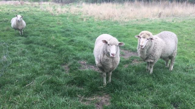 Sheep in a livestock farm