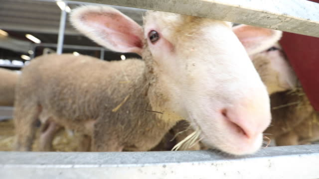sheep in barn stall eating from feeder - livestock stock videos & royalty-free footage