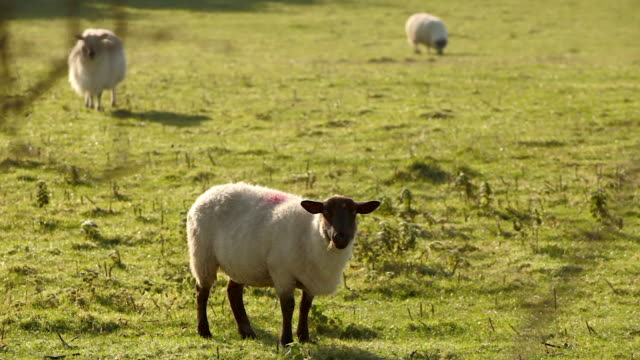 vidéos et rushes de sheep in field at irish countryside early morning 7 - petit groupe d'animaux