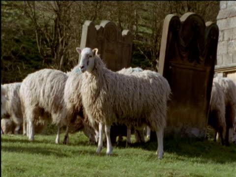 Sheep in graveyard Cumbria