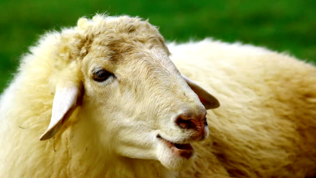 sheep in green field - sheep stock videos & royalty-free footage