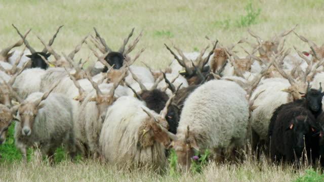 vídeos de stock, filmes e b-roll de sheep in lake neusiedl - cornudo