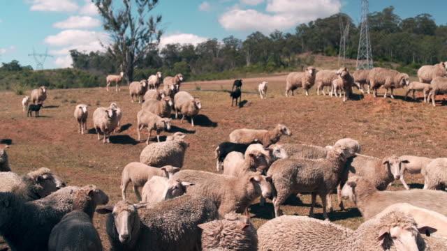 vídeos y material grabado en eventos de stock de ovejas en la naturaleza - rebaño de oveja