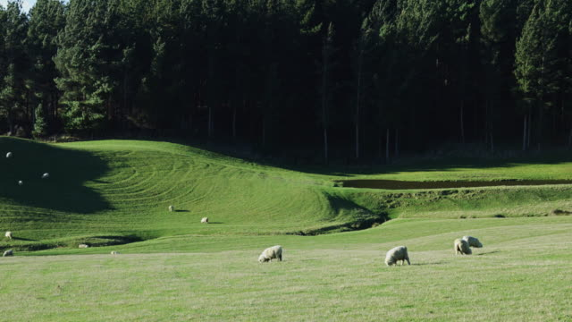 Sheep in New Zealand