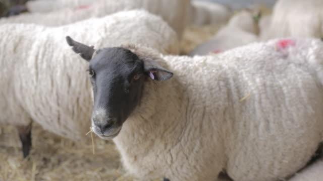 vidéos et rushes de sheep in pen close up - petit groupe d'animaux