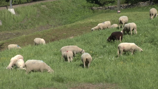 sheep in the area of the olympia bobrun st. moritz–celerina - schaf stock-videos und b-roll-filmmaterial