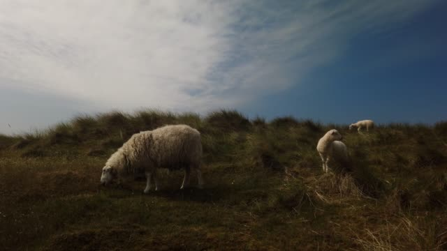 sheep in the dunes of the north sea island sylt - schafe auf der nordseeinsel sylt - tina terras michael walter stock videos & royalty-free footage