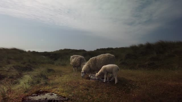 stockvideo's en b-roll-footage met sheep in the dunes of the north sea island sylt - schafe auf der nordseeinsel sylt - tina terras michael walter