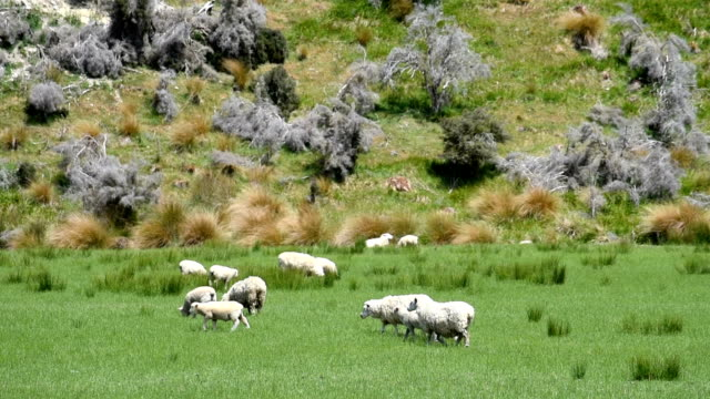 sheep in the nature in new zealand - ovino video stock e b–roll