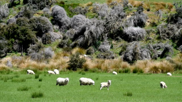 Sheep in the nature in new zealand