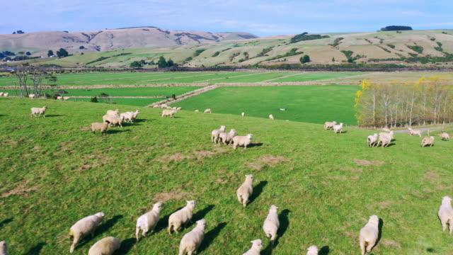 sheep in the pasture - sheep点の映像素材/bロール