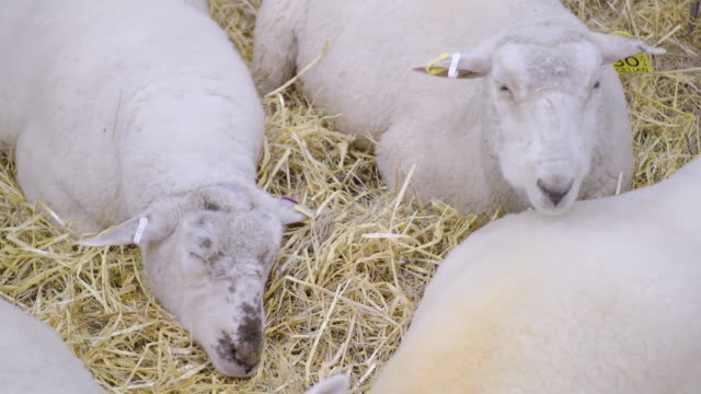 sheep in the ranch - ranch icon stock videos & royalty-free footage