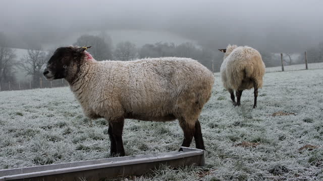 sheep in winter frost. - sheep stock videos & royalty-free footage