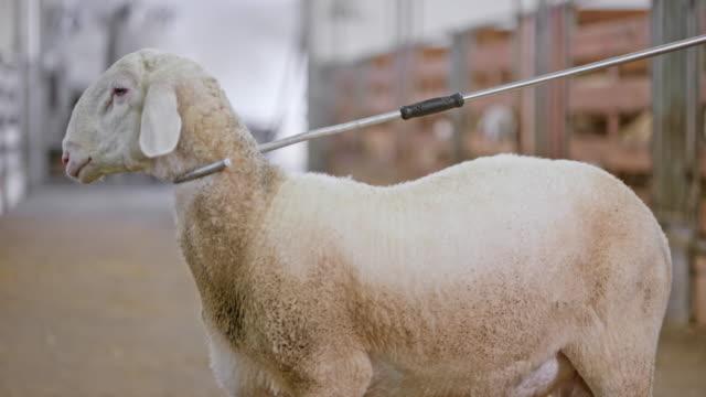 たいまつの羊納屋の中の羊飼いの杖でまだ保持されて - 羊飼いの棒点の映像素材/bロール