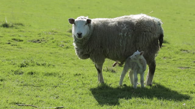 sheep & lamb near abney, derbyshire, england, uk, europe - sheep stock videos & royalty-free footage