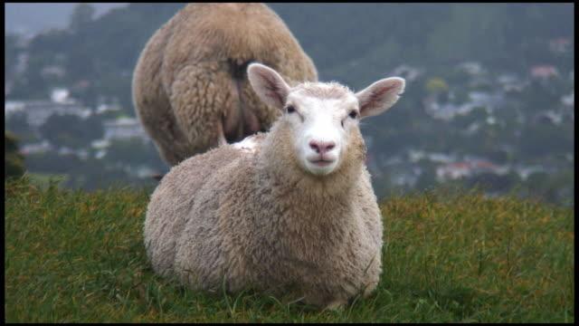 vídeos y material grabado en eventos de stock de (hd1080) ovejas, cordero stares a la cámara y mastica, además de los hábitos alimenticios - oveja merina