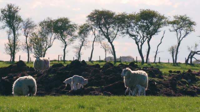 sheep & lambs on mound of dirt, cayton, north yorkshire, england - sheep stock videos & royalty-free footage