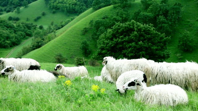sheep laying on a field - flock of sheep stock videos and b-roll footage