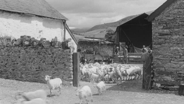 MONTAGE Sheep leaving the village to return to the hills / United Kingdom