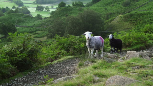 sheep look up form grazing in the hills of the lake district - grazing stock videos & royalty-free footage