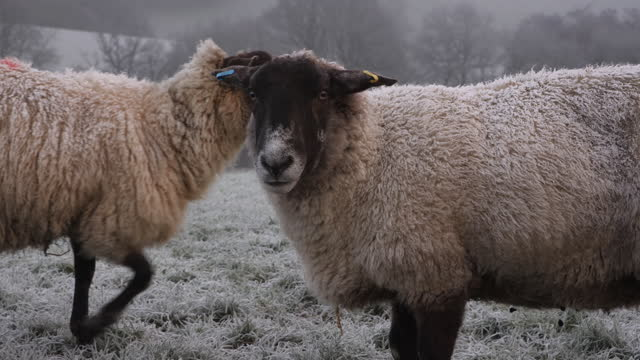 sheep looking at camera. a frosty winter morning. - east sussex stock videos & royalty-free footage