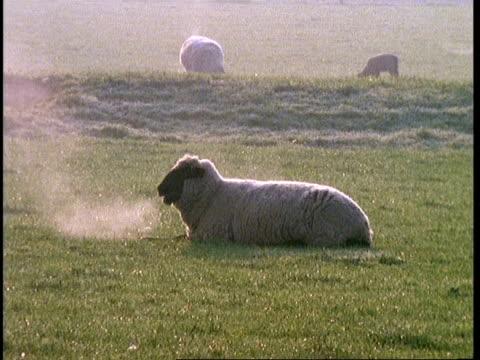 ms sheep lying in field, steamy breath, portrait, spring - sichtbarer atem stock-videos und b-roll-filmmaterial