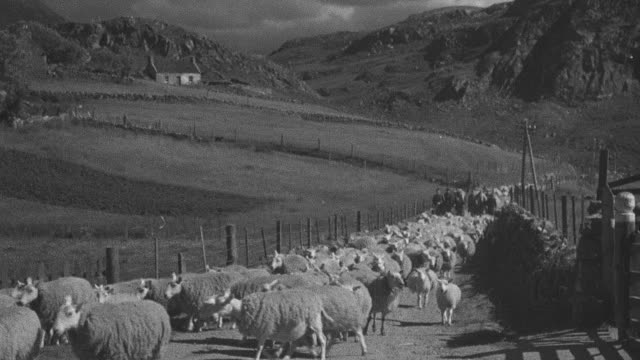 1944 sheep meandering down dirt road by highland crop, herder and sheepdog following behind / achriesgill, sutherlandshire, scotland - achriesgill stock videos & royalty-free footage