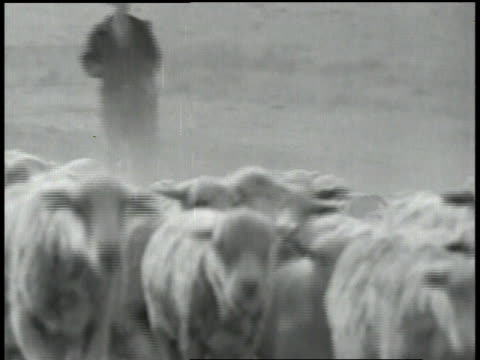 sheep moving in unison being driven by man / sheep moving past camera / sheep crossing frame - 羊飼い点の映像素材/bロール
