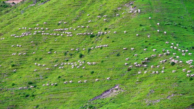 sheep moving - sheep stock videos & royalty-free footage