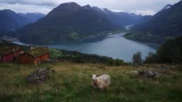 Sheep near the huts in moss on the background of fjord