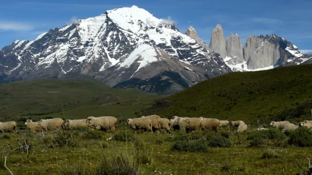 stockvideo's en b-roll-footage met schapen in de buurt van torres del paine national park. - chile