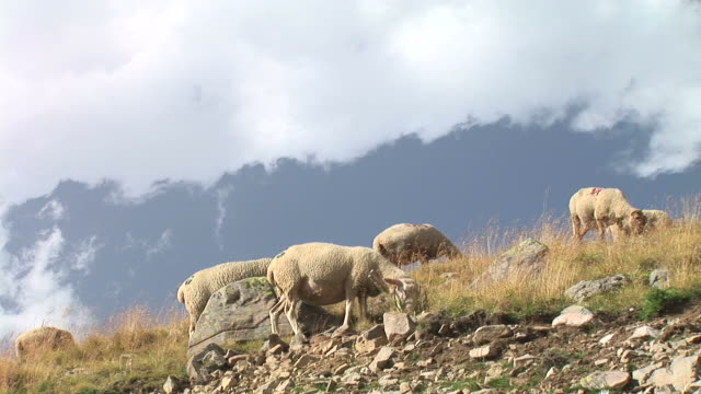 hd: sheep on a hill - sheep stock videos and b-roll footage