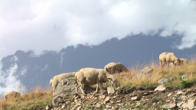 vidéos et rushes de hd : moutons sur une colline - hill