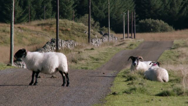 sheep on a road in remote scottish countryside - hooved animal stock videos & royalty-free footage