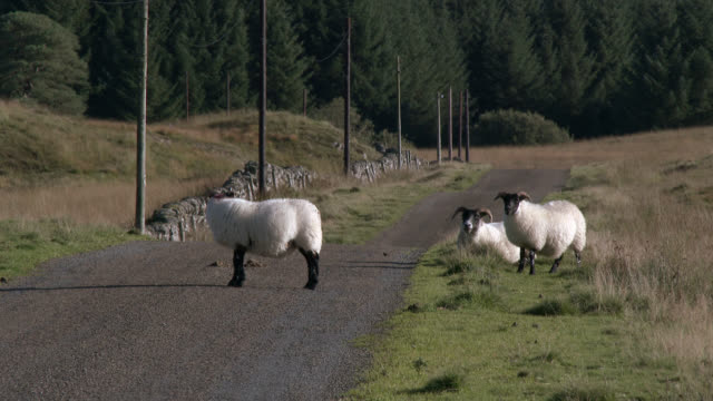 sheep on a road in remote scottish countryside - johnfscott stock videos & royalty-free footage