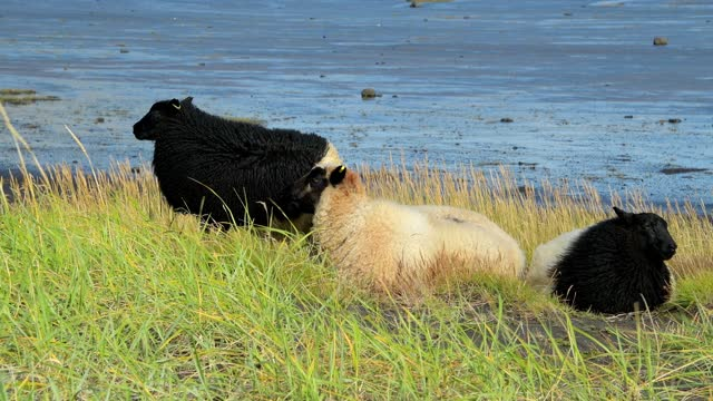 sheep on coastline, dyrholaey, vik, sudurland, iceland - kleine gruppe von tieren stock-videos und b-roll-filmmaterial