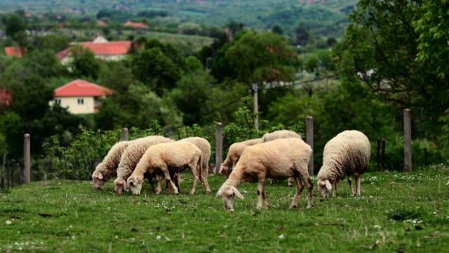 stockvideo's en b-roll-footage met schapen op groen gras eten gras in de boerderij voorraad video - kudde schapen