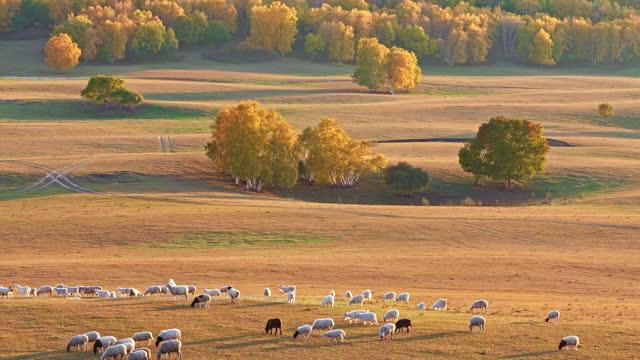 sheep on the grassland in autumn - 羊の群点の映像素材/bロール