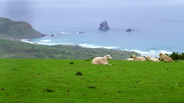 vídeos y material grabado en eventos de stock de sheep rest on grass by new zealand coastline - comportamiento de animal