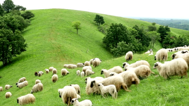 Sheep running down a hill
