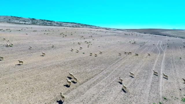 Schaf Laufen in einem Feld in hellen Sonnenschein