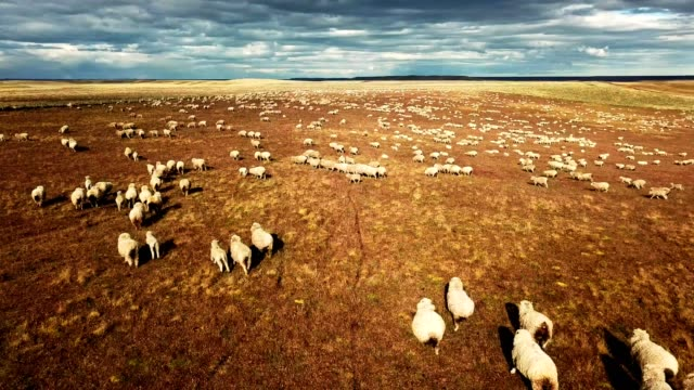 sheep running in the pampa - livestock stock videos and b-roll footage