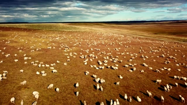 sheep running in the pampa - sheep stock videos and b-roll footage