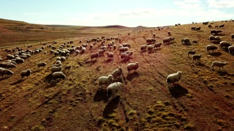 sheep running in the pampa - herding stock videos & royalty-free footage
