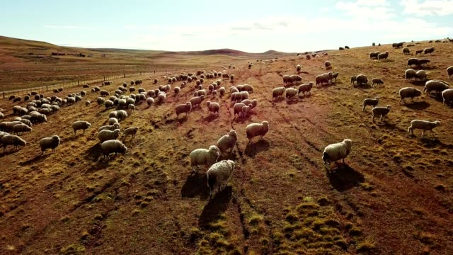 sheep running in the pampa