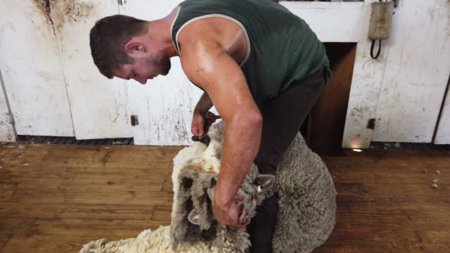 sheep shearer george blyde working at meadowlea sheep station on february 25 2020 in kangaroo island australia over a third of kangaroo island... - working animals stock videos & royalty-free footage