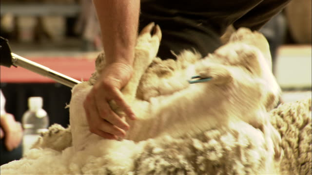 vídeos de stock, filmes e b-roll de sheep shearers remove the wool from a sheep. - tosquiando
