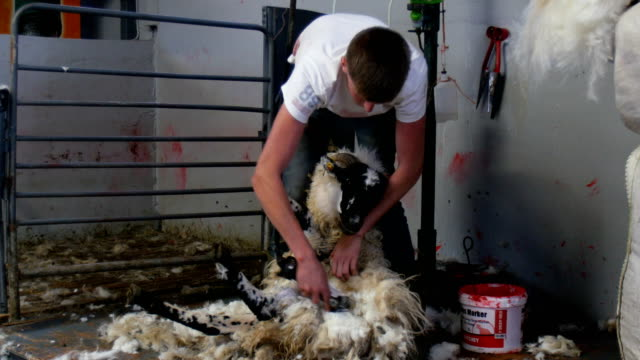 Sheep shearing and MACHINE SHEARING