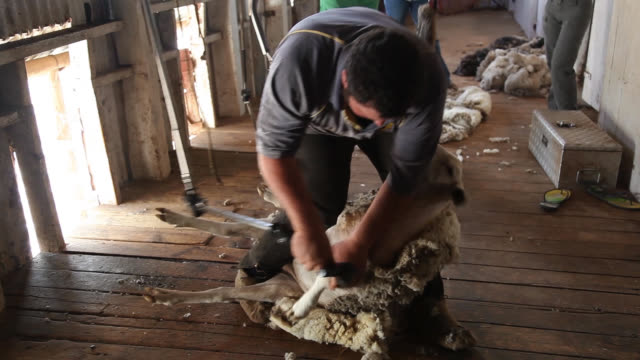 stockvideo's en b-roll-footage met sheep shearing demonstration at burrawang west station - duurzaam toerisme