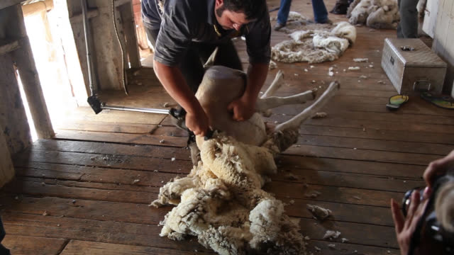 vídeos de stock, filmes e b-roll de sheep shearing demonstration at burrawang west station - tosquiando